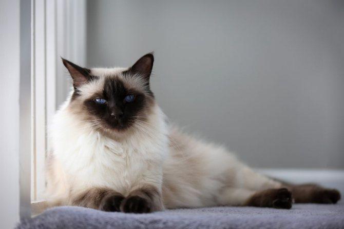 Болезни балинезийской кошки