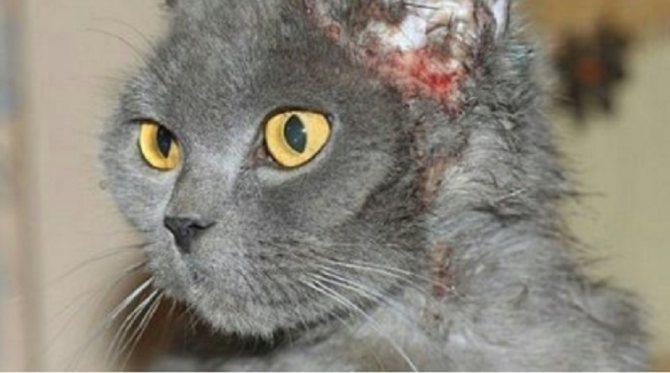 Болезни кожных покровов кошки