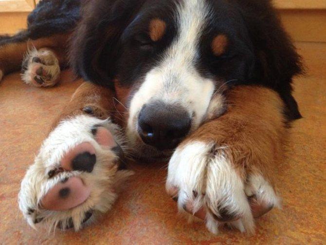 Болезни лап у собак
