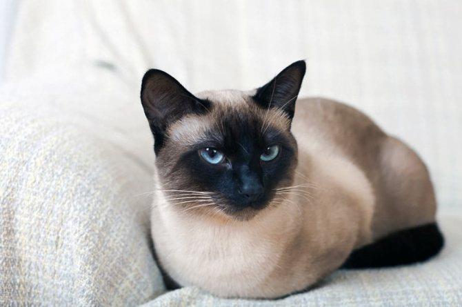 Болезни сиамской кошки