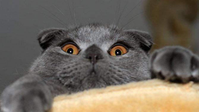 болезни вислоухих шотландских кошек