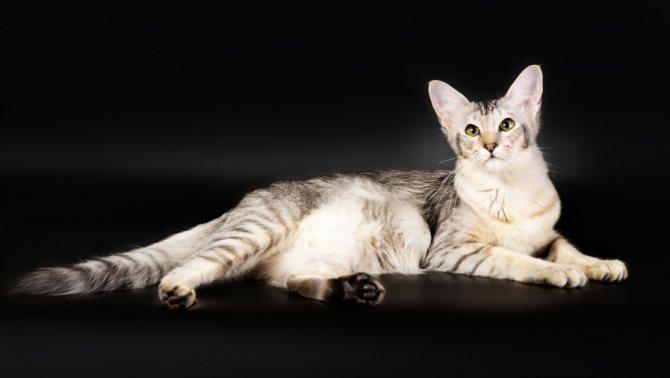 болезни яванкой кошки