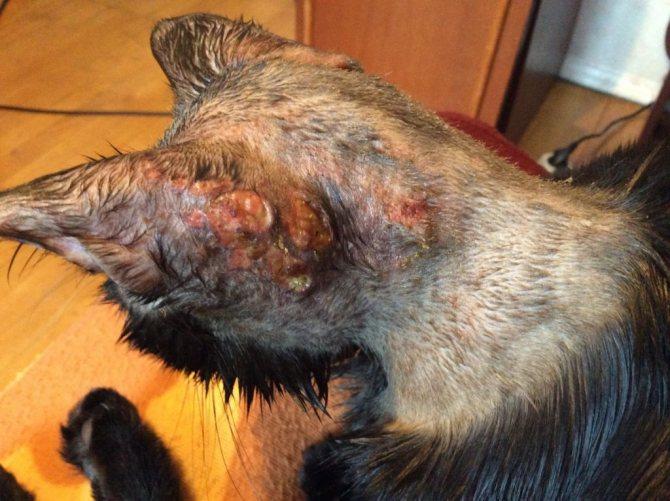 Больные кошки начинают яростно чесаться и заносят в ранки дополнительную инфекцию