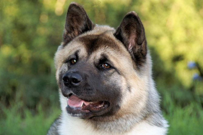 Большая японская собака акита