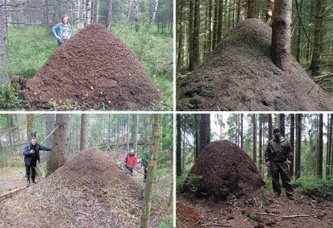 Большие лесные муравейники