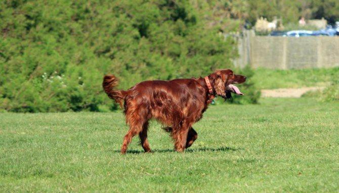 большие охотничьи собаки
