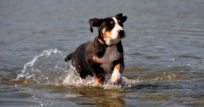 Большой швейцарский зенненхунд очень любит плавать