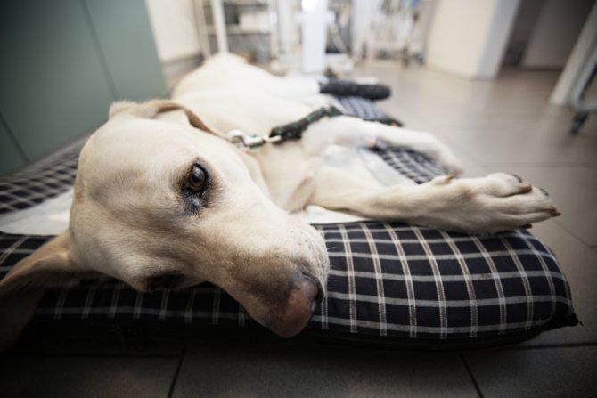 Большую часть времени больная собака проводит лежа