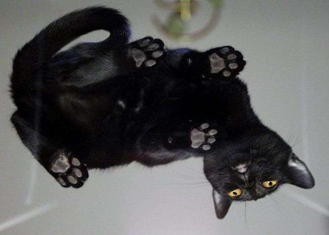 Бомбейская кошка должен быть черный нос и черные подушечки лап