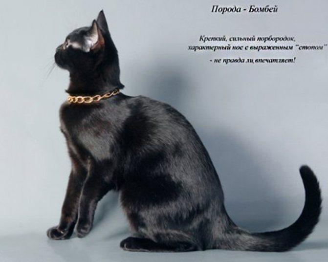Бомбейская кошка в профиль