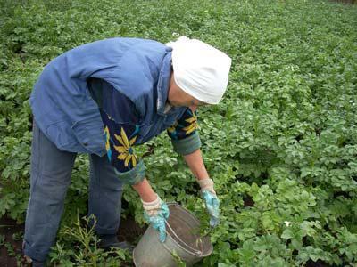 борьба с колорадским жуком с помощью горчицы