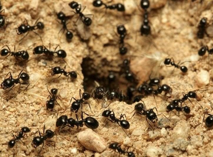 борьба с садовыми муравьями народными методами