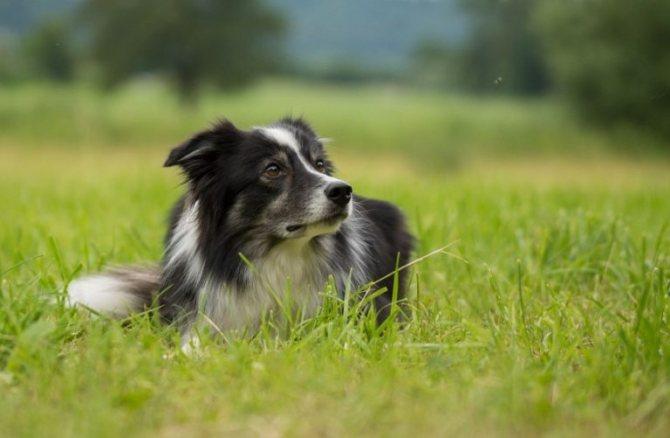 Border kolli 1 - Топ 10 самых умных собак в мире