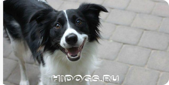 Бордер колли, описание породы собак, особенности ухода, здоровье, щенки и характер бордера.