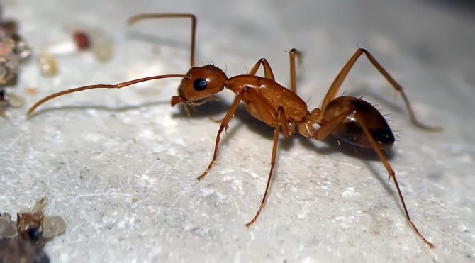 'Борная кислота для борьбы с муравьями в квартире. Рецепты