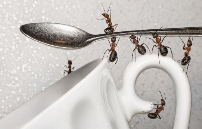 """'Борная кислота для борьбы с муравьями в квартире. Рецепты """"медовая ловушка"""", """"яичная бомба""""'"""