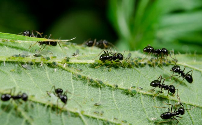Борная кислота против муравей