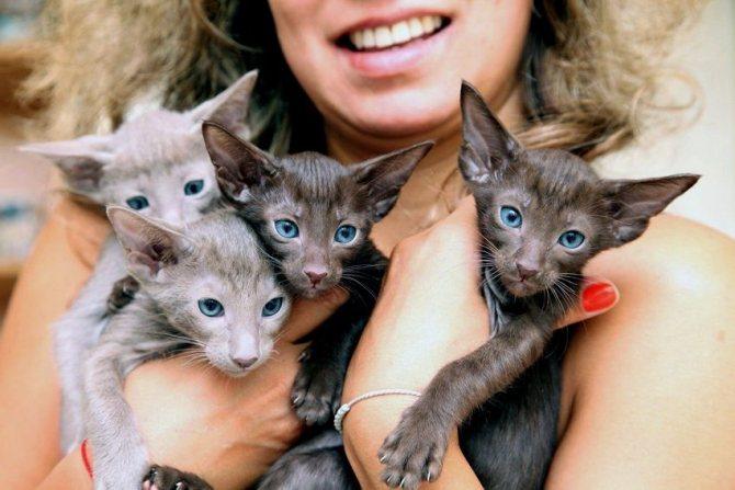 Брачный период, стерилизация и кастрация, вязка у кошек