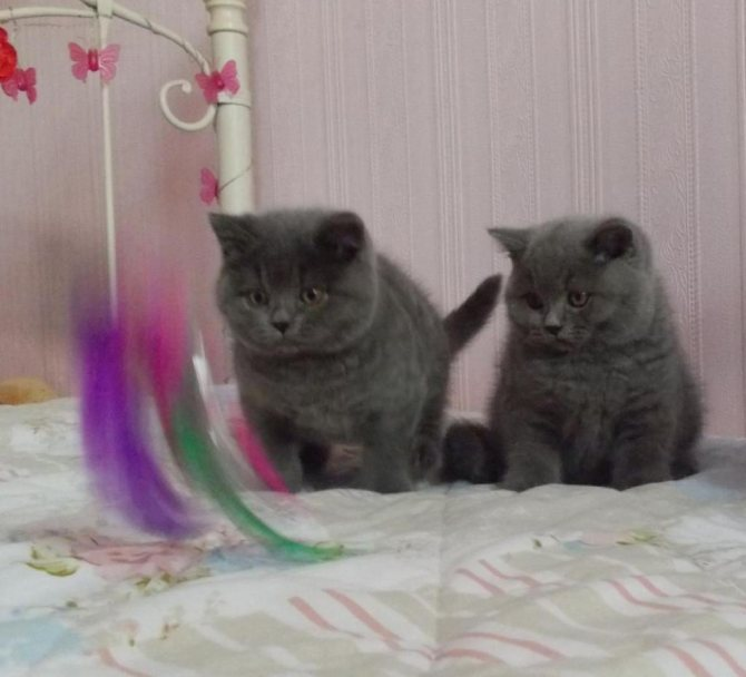бразильские короткошерстные кошки