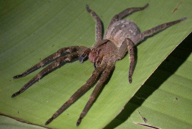 Бразильский странствующий паук