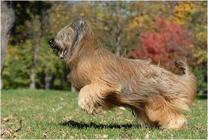 Бриары очень подвижные собаки, им нужны частые и продолжительные прогулки