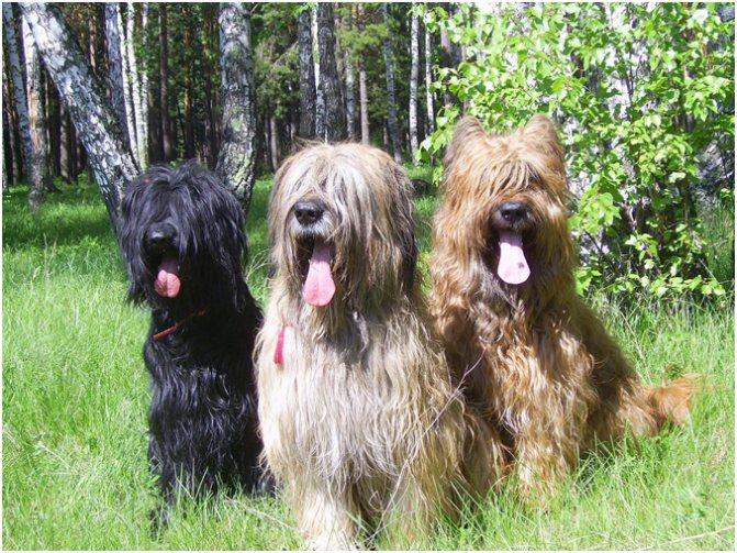 Бриары умные, позитивные и добрые собаки, они прекрасные компаньоны, верные друзья и отличные охранники