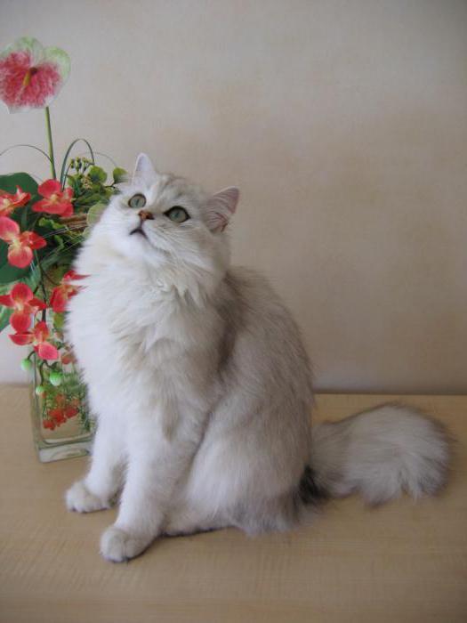 британская длинношерстная порода кошек