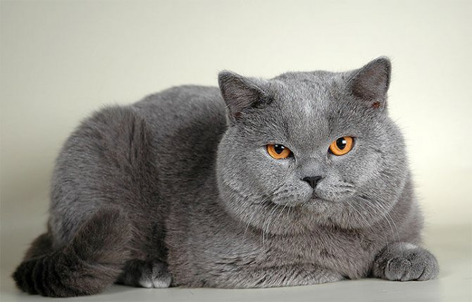 Британская голубая кошка