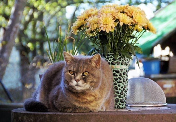 Британская короткошерстная кошка: описание, характер, уход, фото