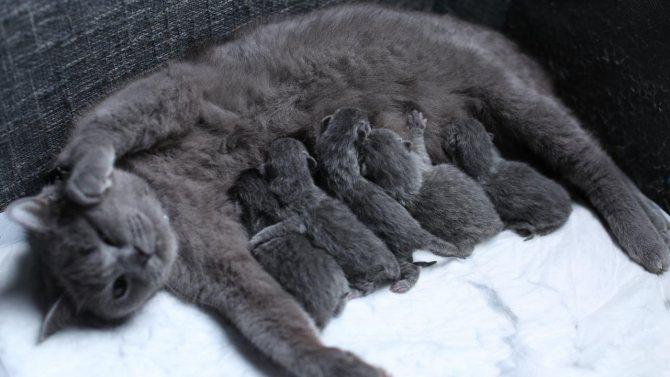 Британская короткошерстная кошка с котятами