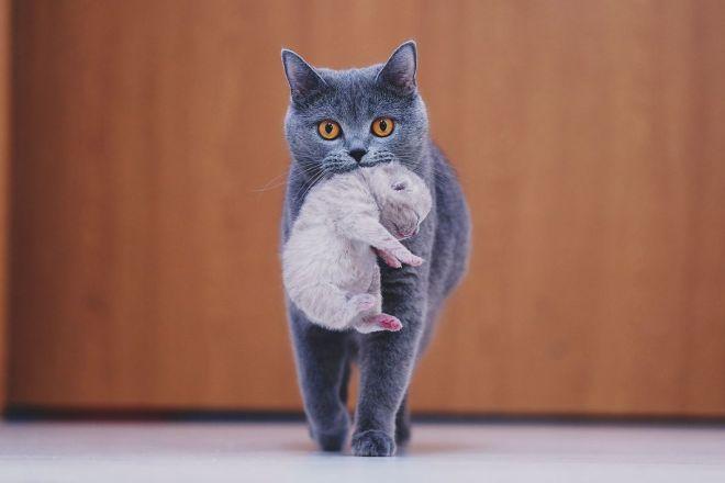 Британская кошка несет котенка