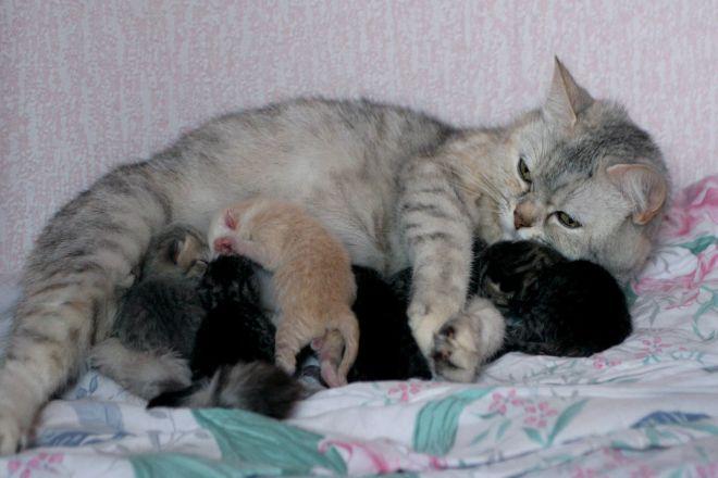 британская кошка с котятами