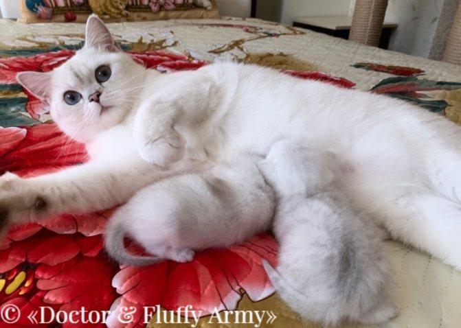 Британская шиншилла с котятами