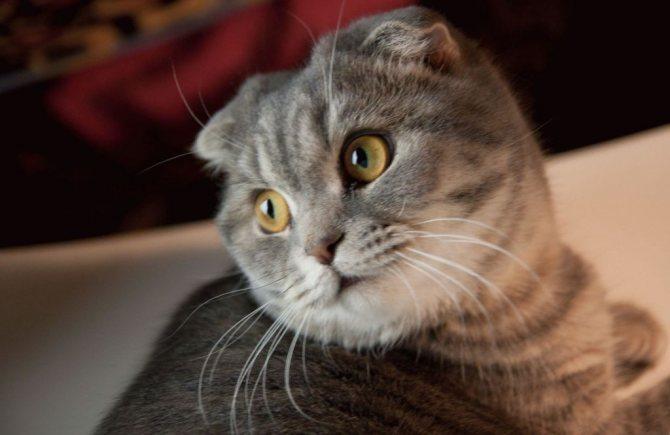 Британские вислоухие кошки, в силу особенностей своей породы, воду практически не пьют