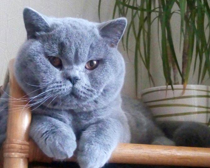 Британский голубой кот