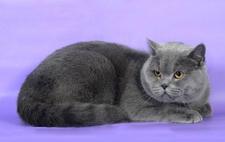 Британский короткошёрстный кот голубого окраса