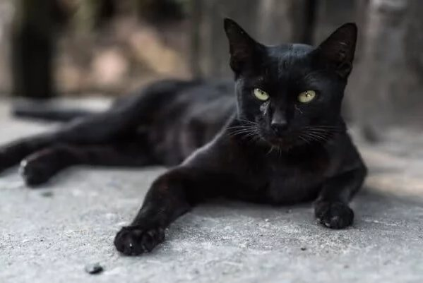 Бурмилла чёрного бомбейского окраса