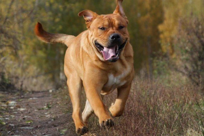 Бычья собака