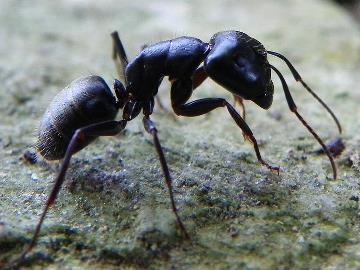 Сонник маленькие муравьи