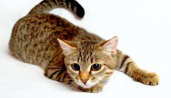 Цестал для кошек – инструкция по применению таблеток