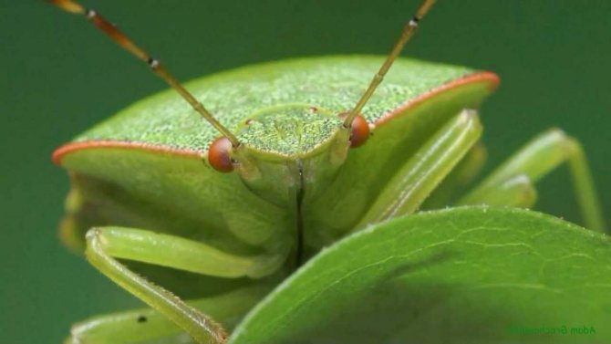 Часто это клопа можно увидеть на кусте малины.