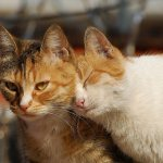 Часто половое созревание у кошек проходит незаметно для их владельцев