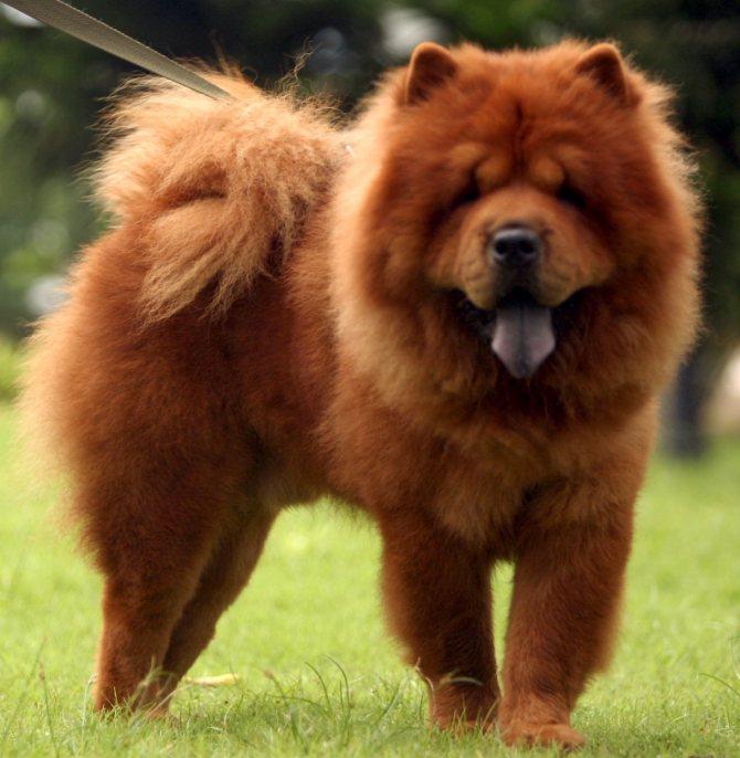 Чау-чау - собака с синим языком
