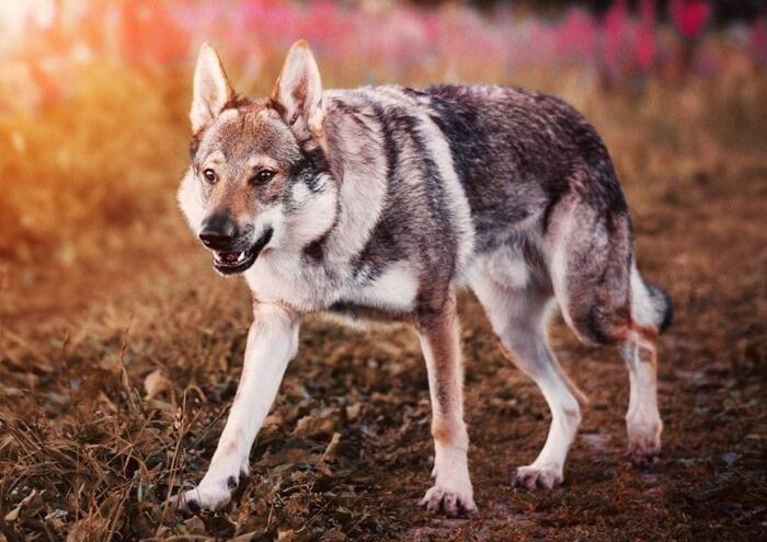 Чехословацкая волчья собака открывает топ-10 самых дорогих пород