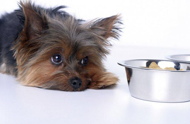 Чем кормить беременную собаку породы йоркширский терьер