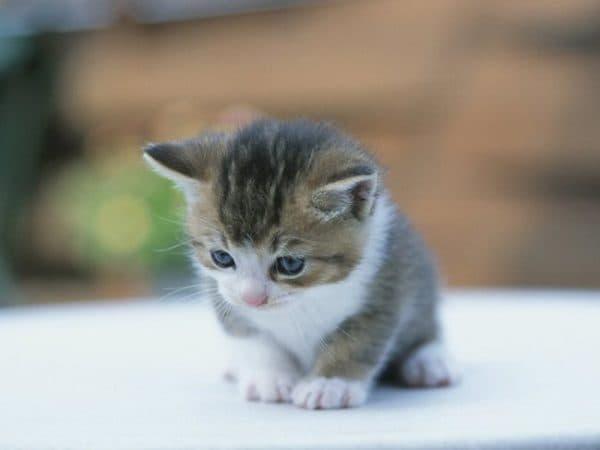 Чем кормить котенка в 1 месяц без кошки в домашних условиях