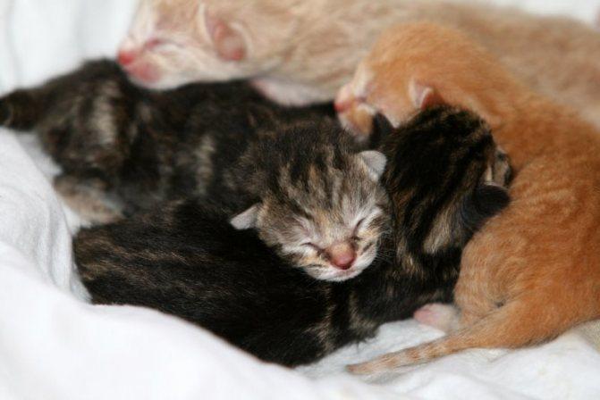 Чем кормить котят если у кошки нет молока