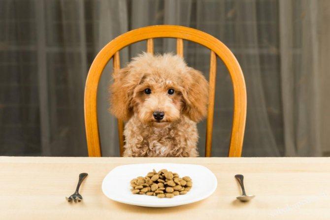 Чем кормить пуделя-меню от щенка до взрослой собаки, запрещенные продукты