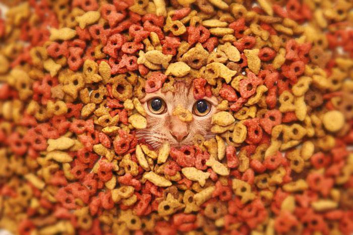 чем кормить шотландского кота