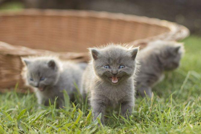 Чем кормить тайского котенка - питание кошки